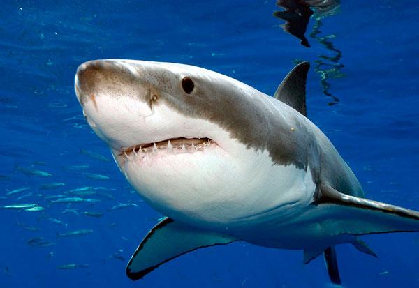 Graban por primera vez a un gran tiburón blanco durmiendo