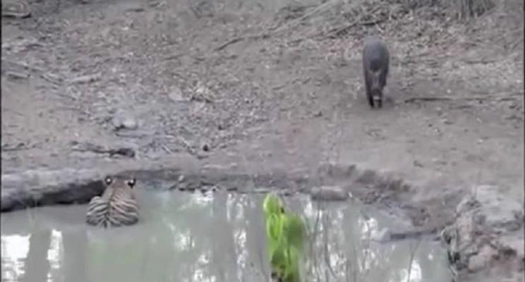 Una cría de tigre come vivo a un jabalí / Fotografía: Youtube
