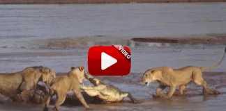 Tres leones intentan comerse un cocodrilo.