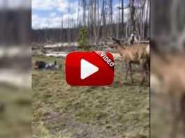 Un ciervo carga contra esta mujer al intentar hacerle una foto.
