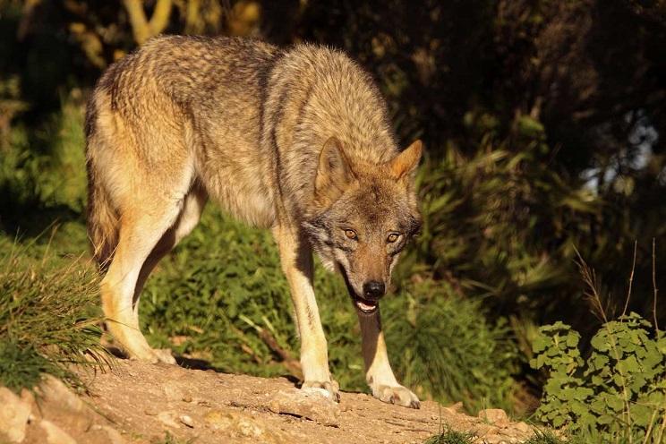 Un lobo se enfrenta a dos pastores y a sus perros