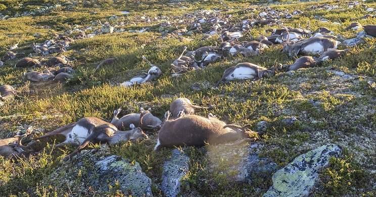 Un rayo mata a 323 renos en Noruega