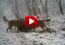 Una cámara trampa captura a tres lobos cazando a un jabalí