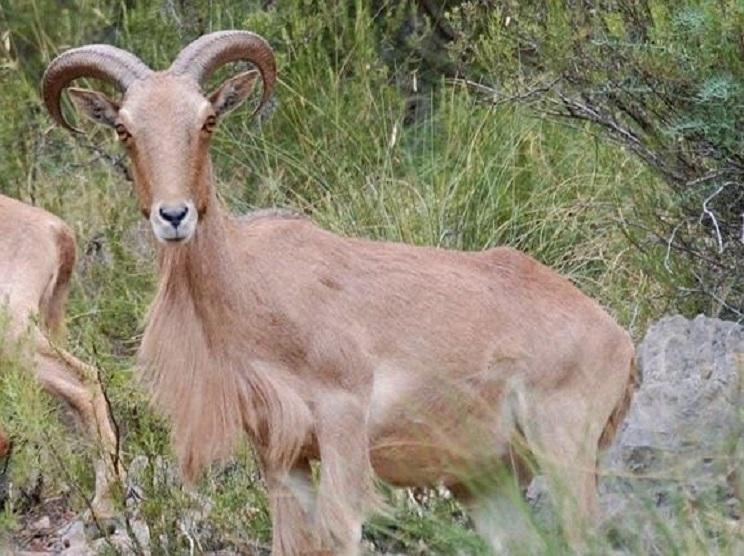 Murcia rectifica y aprueba la caza de arruís hasta final de temporada