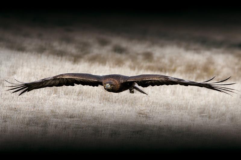 Las águilas ven cinco veces más lejos que nosotros