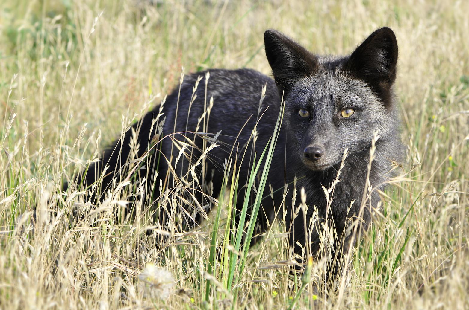 Zorro negro-black fox