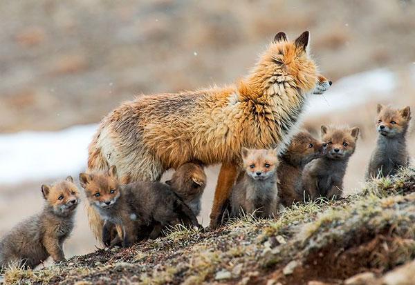 Una camada de zorros increíblemente numerosa es captada por una cámara trampa