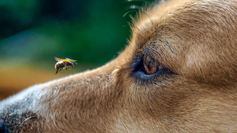 Una abeja revolotea sobre el hocico de un perro de caza. /Shutterstock