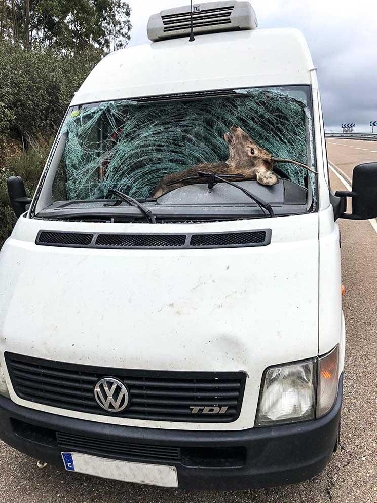 Brutal accidente con un ciervo en Cáceres el mismo día que Fedexcaza recuerda la necesidad de cazar en Monfragüe