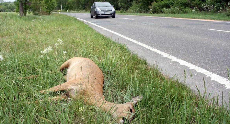 ¿De quién es la responsabilidad en caso de accidente por atropello de especies cinegéticas?