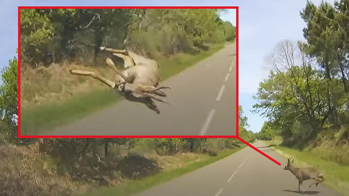 Este vehículo atropella a un corzo y lo lanza por los aires