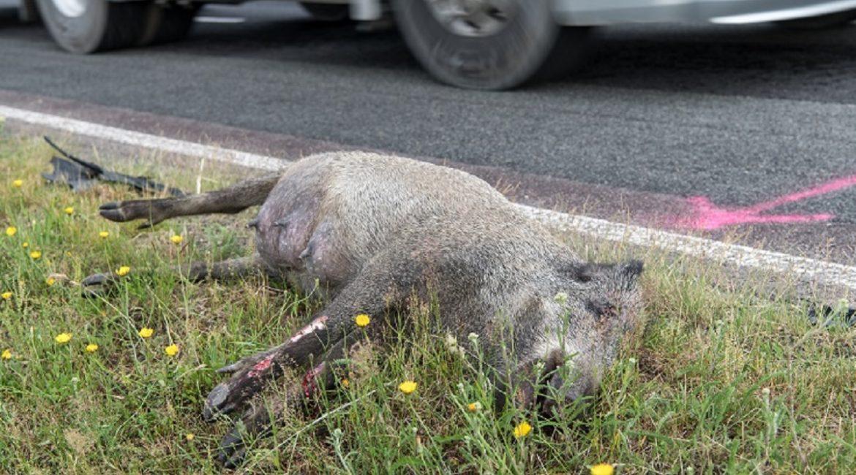 Ocho cosas que debes saber si atropellas un jabalí o un animal salvaje con tu coche