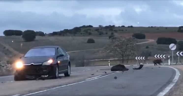 Los accidentes de tráfico contra jabalíes aumentan un 47%