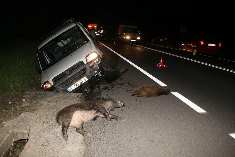 Accidente de una furgoneta contra una manada de jabalís.