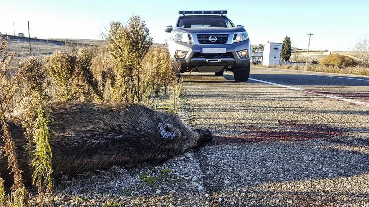 Los jabalíes causan más del 35% de los accidentes de tráfico con fauna en  España