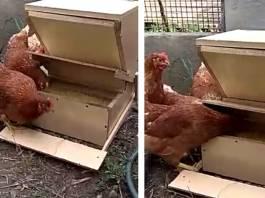 comedero gallinas