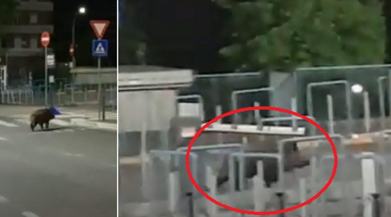 Un descomunal jabalí cruza las barreras de un hospital y se mete dentro