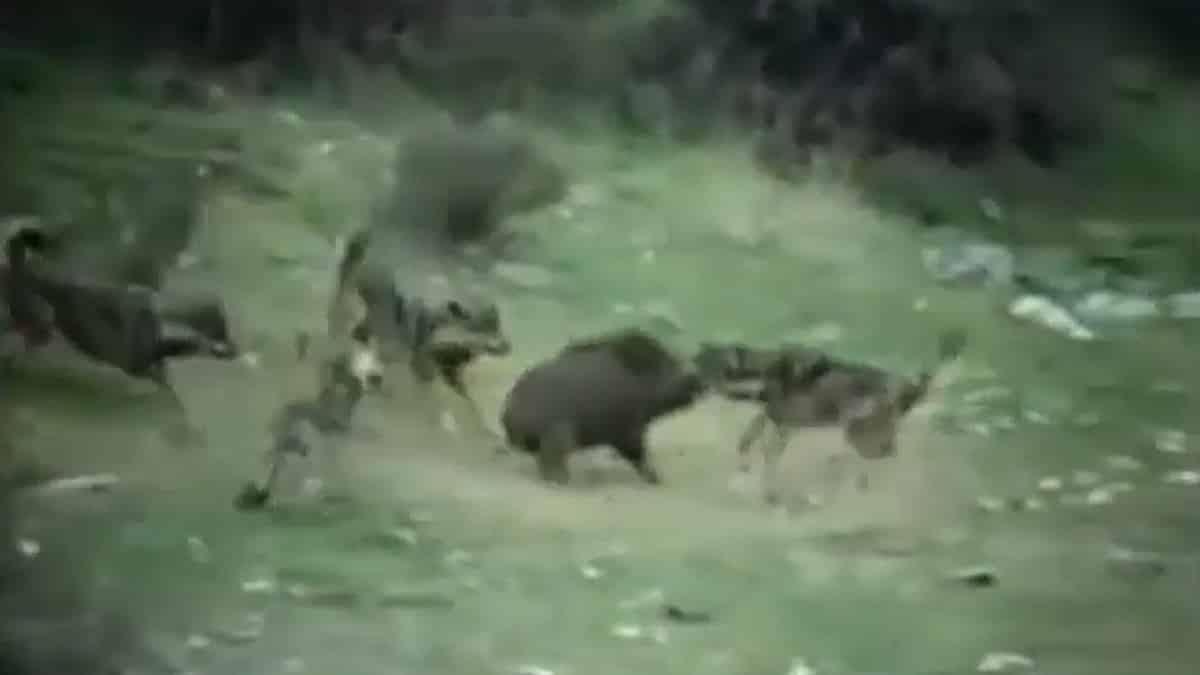 Cuatro lobos agarran a un jabalí y protagonizan una encarnizada lucha