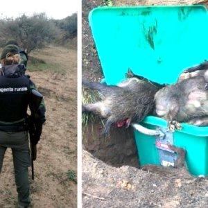 Jabalíes matados con foco, desde el coche y tirados a la basura «por agentes rurales»: la foto de la vergüenza