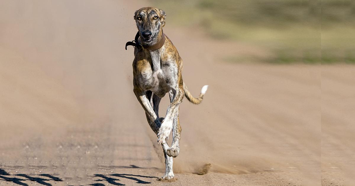 La Guardia Civil de Cáceres investiga el robo de casi 80 perros de caza