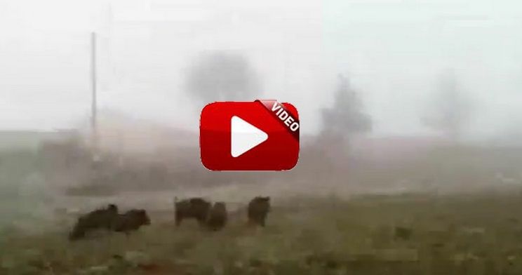 Un agricultor se ve obligado a bajar de su cosechadora para espantar esta piara de jabalíes
