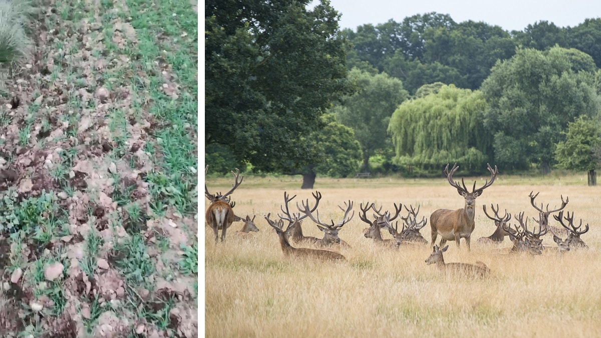 Un agricultor lanza un llamamiento desesperado para que se cacen ciervos en el estado de alarma