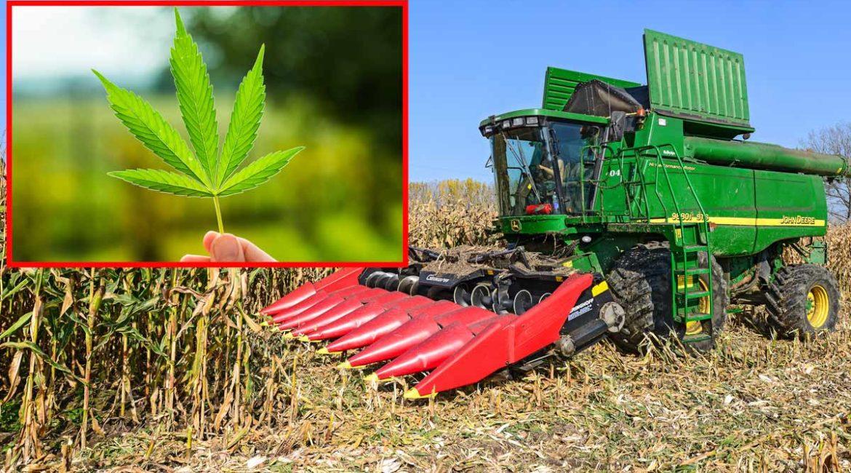 Surrealista: un agricultor se graba cosechando marihuana en mitad de un maizal