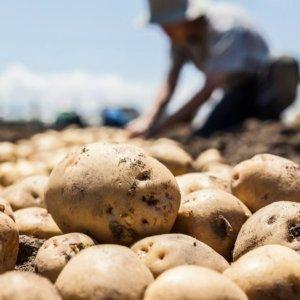 El vídeo viral del agricultor al que le pagan las patatas a un céntimo el kilo: «Las tiro, yo no enriquezco a nadie»
