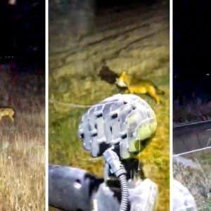 Dos agricultores se topan en plena noche con un lobo que acaba de cazar a una presa en León