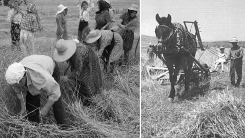 Agricultores segando
