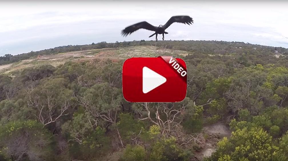 Un águila 'caza' a un dron en el aire