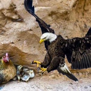 Una gallina amedrenta y acorrala al águila que trató de atacar a sus pollos