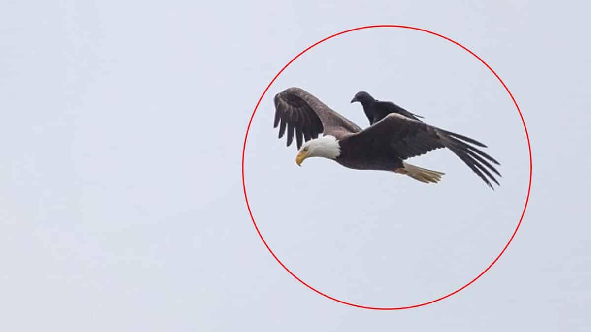 Insólito: Fotografían a un cuervo descansando sobre un águila en pleno vuelo