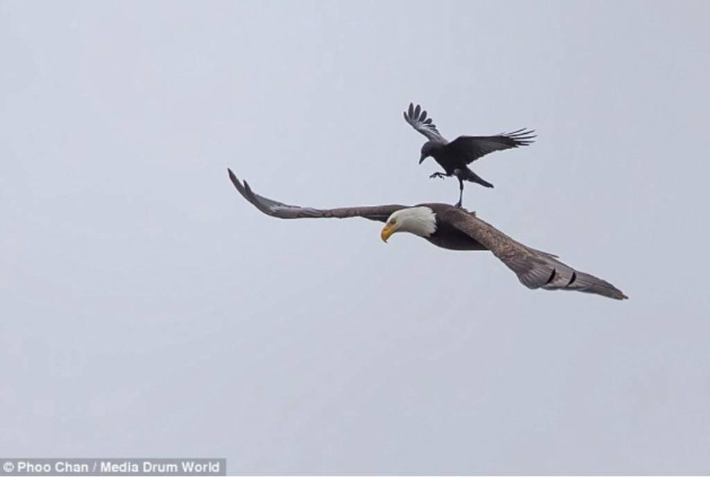 aguila cuervo