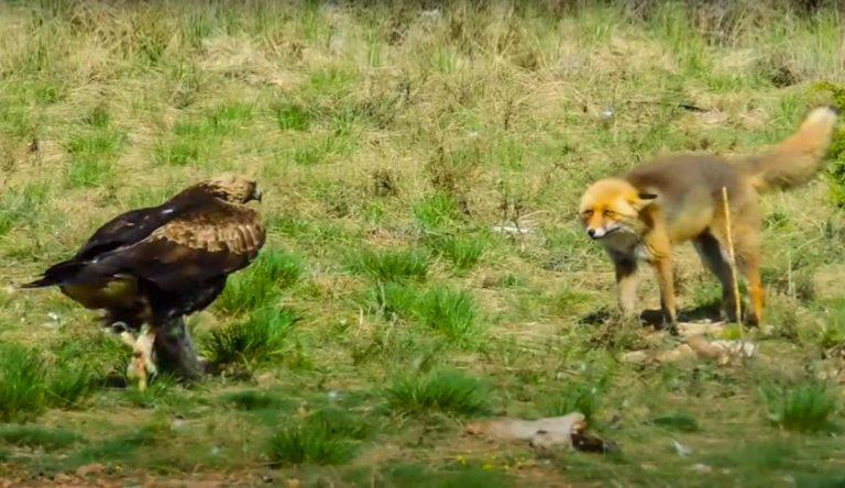 El águila camina hacia el zorro.