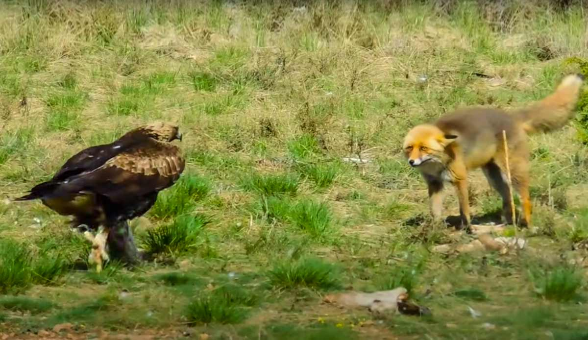 Así reacciona un zorro cuando un águila intenta quitarle la comida