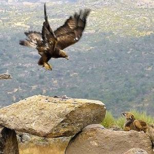 Un águila y un zorro protagonizan una apasionante pugna por un conejo