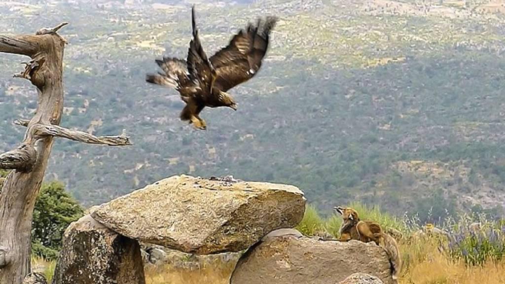 Águila y zorro
