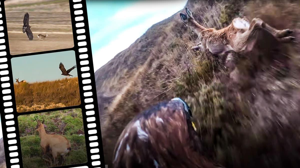 Varios de los impresionantes lances que aparecen en el vídeo del águila real cazando corzos y rebecos. © YouTube