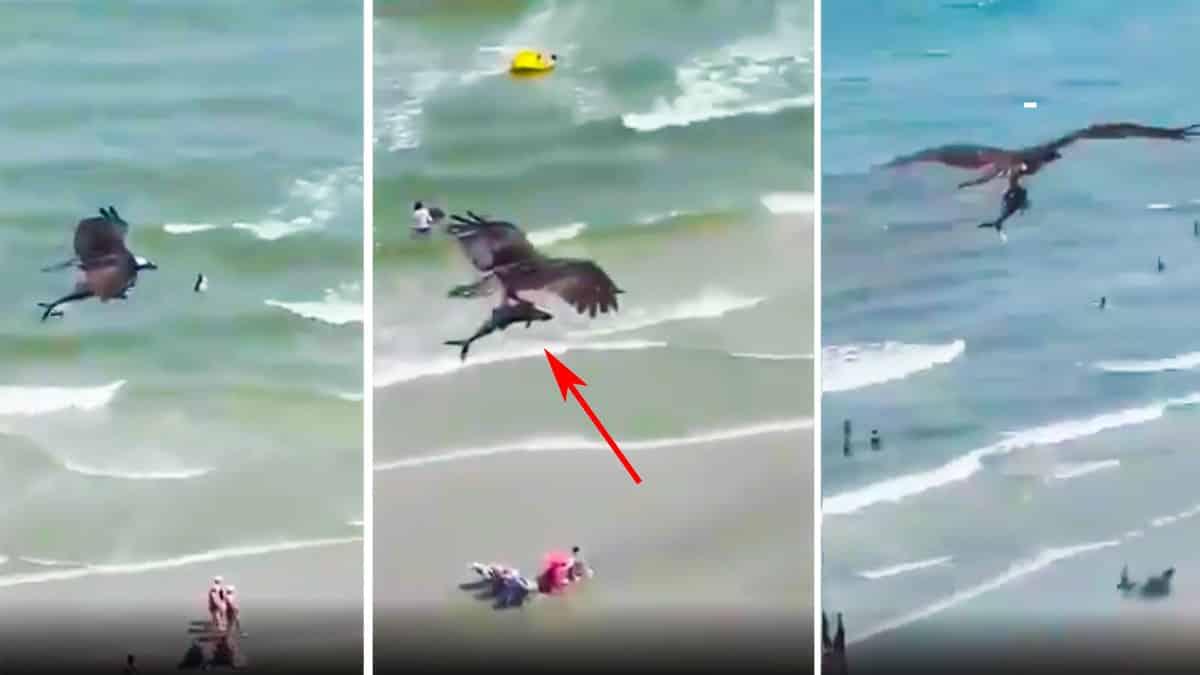 Graban a un águila pescadora cazando a un tiburón y llevándoselo por los aires