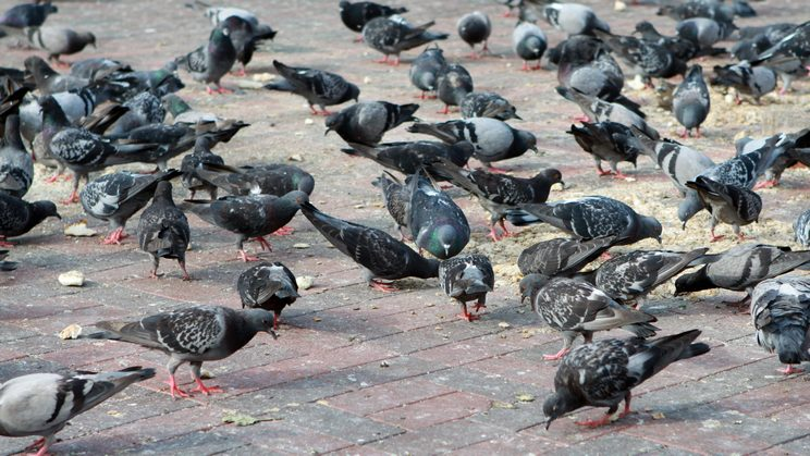 C mo ahuyentar o matar palomas for Ahuyentar palomas del balcon
