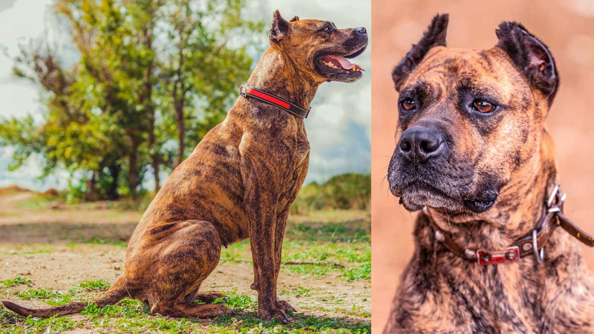 Alano español, el perro de caza y ganado que conquistó América