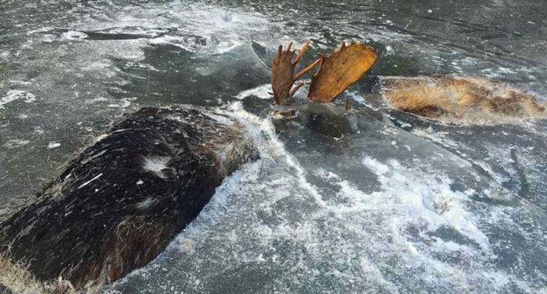 Dos cazadores encuentran una pareja de alces congelados en posición de pelea