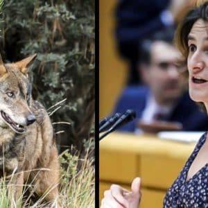 PSOE y Podemos tumban en el Senado una moción para proteger al medio rural frente al lobo ibérico