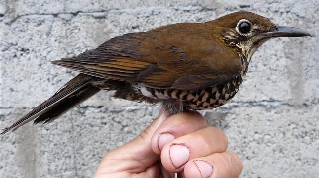 amadridejos32489531-sociedad-nueva-especie-ave-descubierta-tordo-o160121201012-1453403619333