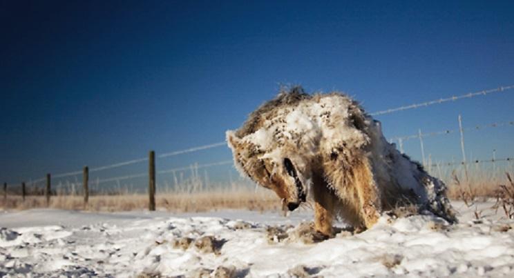 animales congelados lobo