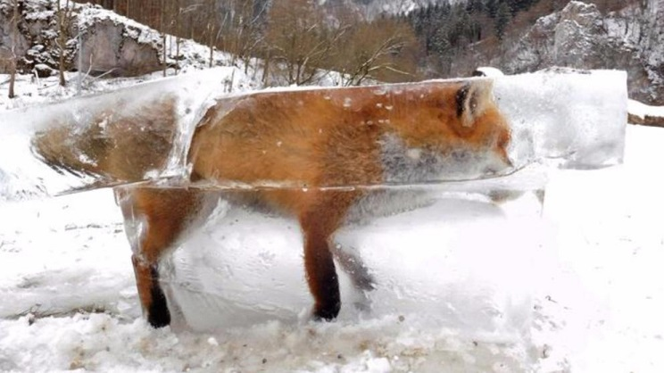 animales congelados zorro
