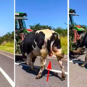 Las redes estallan en carcajadas con un animalista que confunde un toro semental con una vaca lechera