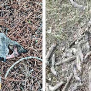 Aparecen las cabezas de otros 15 corzos furtiveados por su carne en Segovia