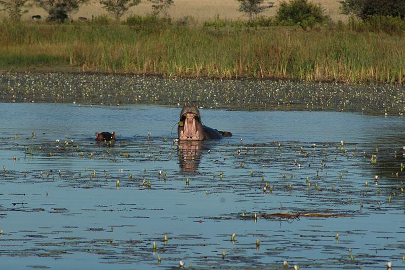 Hipopótamo, el sexto grande